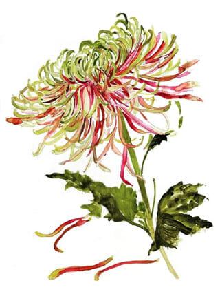 Chrysanthemum postkaart